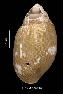 To NMNH Extant Collection (Neoactaeonina edentula (Watson, 1883) dorsal view)