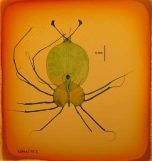 To NMNH Extant Collection (USNM 211015 Scyllarides astori)