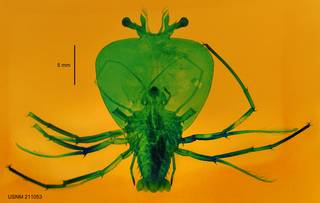 To NMNH Extant Collection (USNM 211053 Scyllarus timidus)