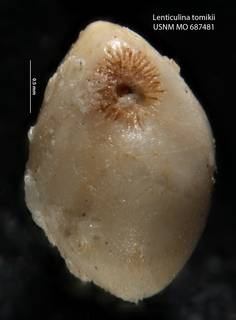 To NMNH Paleobiology Collection (Lenticulina tomikii USNM 687481 holo b)