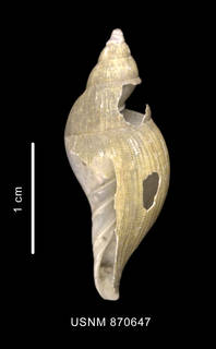 To NMNH Extant Collection (Paradmete fragillima (Watson, 1882) lateral view)