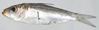 To NMNH Extant Collection (Harengula USNM 413229 photograph lateral view)