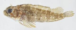 To NMNH Extant Collection (Labrisomus gobio USNM 413253 photograph lateral view)