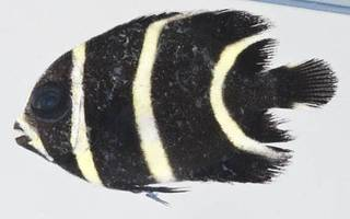 To NMNH Extant Collection (Pomacanthus paru USNM 413256 photograph lateral view)