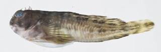 To NMNH Extant Collection (Scartella cristata USNM 413267 photograph lateral view)