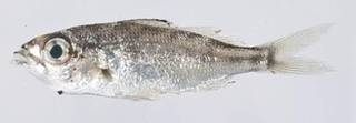 To NMNH Extant Collection (Eucinostomus USNM 414267 photograph lateral view)