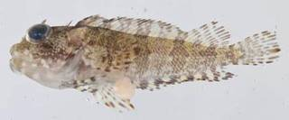 To NMNH Extant Collection (Labrisomus guppyi USNM 414321 photograph lateral view)