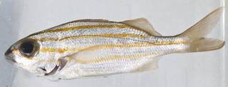 To NMNH Extant Collection (Haemulon chrysargyreum USNM 414324 photograph lateral view)