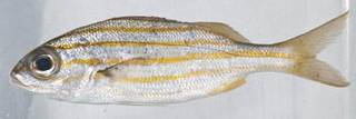To NMNH Extant Collection (Haemulon chrysargyreum USNM 414325 photograph lateral view)