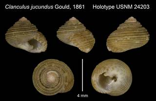 To NMNH Extant Collection (Clanculus jucundus Gould, 1861 Holotype USNM 24203)