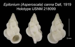 To NMNH Extant Collection (Epitonium (Asperoscala) canna Dall, 1919 Holotype USNM 218099)