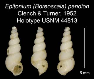 To NMNH Extant Collection (Epitonium (Boreoscala) pandion Clench & Turner, 1952 Holotype USNM 44813)