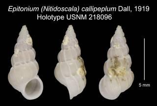 To NMNH Extant Collection (Epitonium (Nitidoscala) callipeplum Dall, 1919 Holotype USNM 218096)