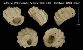 To NMNH Extant Collection (Epitonium (Sthenorhytis) turbinum Dall, 1908 Holotype USNM 110568)