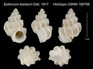 To NMNH Extant Collection (Epitonium bialatum Dall, 1917 Holotype USNM 180798)