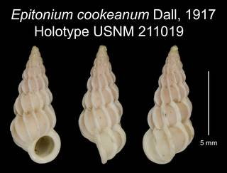 To NMNH Extant Collection (Epitonium cookeanum Dall, 1917 Holotype USNM 211019)