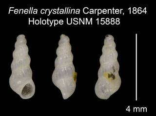 To NMNH Extant Collection (Fenella crystallina Carpenter, 1864 Holotype USNM 15888)