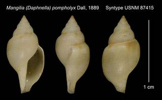 To NMNH Extant Collection (Mangilia (Daphnella) pompholyx Dall, 1889 Syntype USNM 87415)