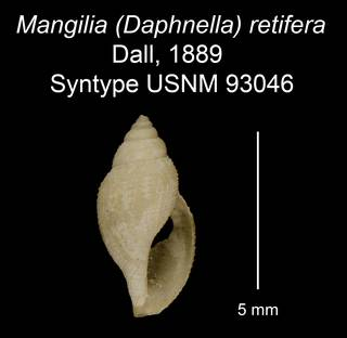 To NMNH Extant Collection (Mangilia (Daphnella) retifera Dall, 1889 Syntype USNM 93046)