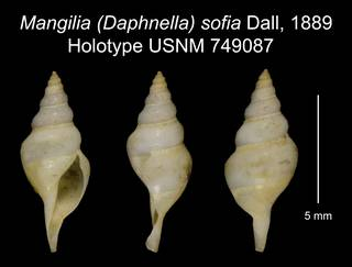 To NMNH Extant Collection (Mangilia (Daphnella) sofia Dall, 1889 Holotype USNM 749087)