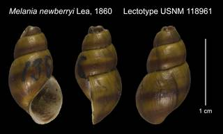 To NMNH Extant Collection (Melania newberryi Lea, 1860 Lectotype USNM 118961)