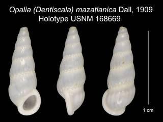 To NMNH Extant Collection (Opalia (Dentiscala) mazatlanica Dall, 1909 Holotype USNM 168669)