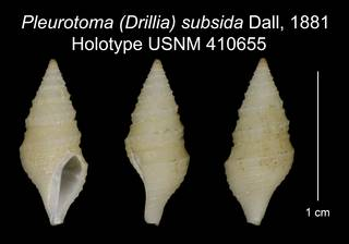 To NMNH Extant Collection (Pleurotoma (Drillia) subsida Dall, 1881 Holotype USNM 410655)