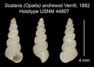 To NMNH Extant Collection (Scalaria (Opalia) andrewsii Verrill, 1882 Holotype USNM 44807)