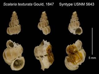 To NMNH Extant Collection (Scalaria texturata Gould, 1847 Holotype USNM 5643)