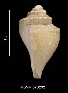 To NMNH Extant Collection (Paradmente percarinata Powell, 1951 shell lateral view)