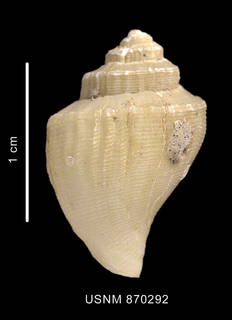 To NMNH Extant Collection (Paradmente percarinata Powell, 1951 shell dorsal view)