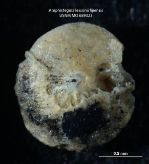 To NMNH Paleobiology Collection (Amphistegina lessoni fijiensis 689323 s2)