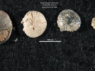 To NMNH Paleobiology Collection (Amphistegina mexicana USNM 243174 center)