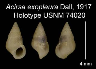 To NMNH Extant Collection (Acirsa exopleura Dall, 1917 Holotype USNM 74020)
