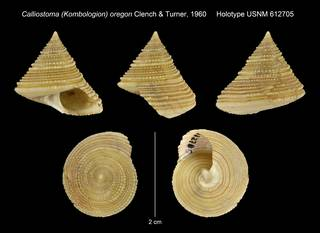 To NMNH Extant Collection (Calliostoma (Kombologion) oregon Clench & Turner, 1960 Holotype USNM 612705)