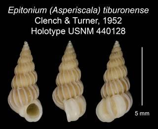 To NMNH Extant Collection (Epitonium (Asperiscala) tiburonense Clench & Turner, 1952 Holotype USNM 440128)