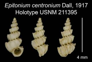 To NMNH Extant Collection (Epitonium centronium Dall, 1917 Holotype USNM 211395)