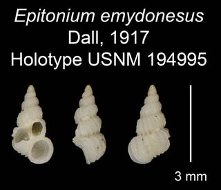To NMNH Extant Collection (Epitonium emydonesus Dall, 1917 Holotype USNM 194995)