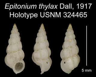 To NMNH Extant Collection (Epitonium thylax Dall, 1917 Holotype USNM 324465)