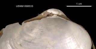 To NMNH Extant Collection (Pholadomya adelaidis (Hedley, 1916) shell left valve hinge)