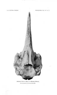 To NMNH Extant Collection (MMP USNM 175019 Mesoplodon mirus  skull ventral viewTrue 1913 Description of Mesoplodon mirum)