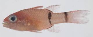 To NMNH Extant Collection (Apogon binotatus USNM 401815 photograph lateral view)