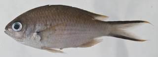 To NMNH Extant Collection (Chromis multilineata USNM 414554 photograph lateral view)