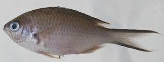 To NMNH Extant Collection (Chromis multilineata USNM 414555 photograph lateral view)