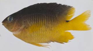 To NMNH Extant Collection (Stegastes variabilis USNM 414559 photograph lateral view)