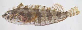 To NMNH Extant Collection (Malacoctenus USNM 413561 photograph lateral view)