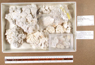 To NMNH Extant Collection (IZ COE USNM 89298 fragments)