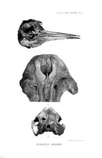 To NMNH Extant Collection (Oliver 1937 Tasmacetus shepherdi - a new genus of beaked whale from New Zealand)