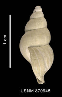 To NMNH Extant Collection (Probuccinum tenerum (Smith, 1907) shell lateral view)
