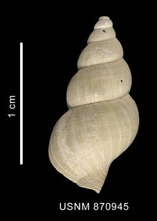 To NMNH Extant Collection (Probuccinum tenerum (Smith, 1907) shell dorsal view)